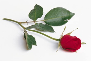 ravingcx-a-rose